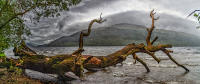 Fallen tree, Loch Lomond, Scotland © 2018 Keith Trumbo